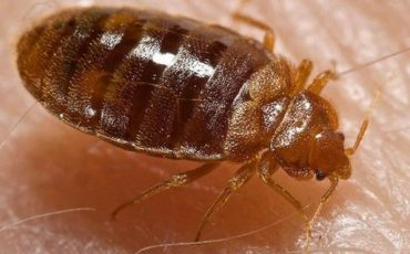 Using Diatomaceous Earth to Rid Bed Bugs