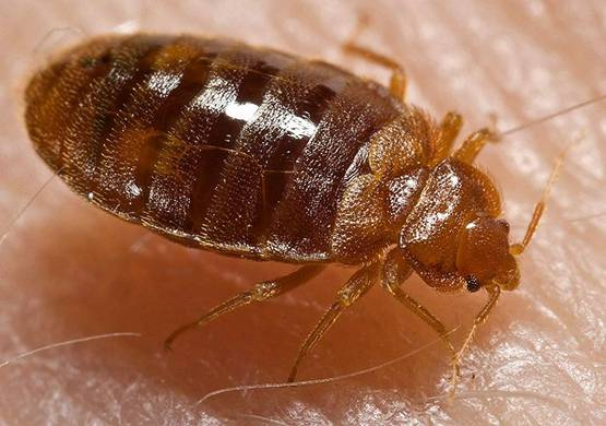 Using Diatomaceous Earth To Rid Bed Bugs Earthworks Health