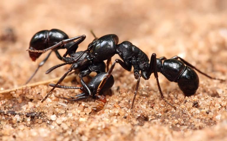 eliminate ants with diatomaceous earth | earthworks health